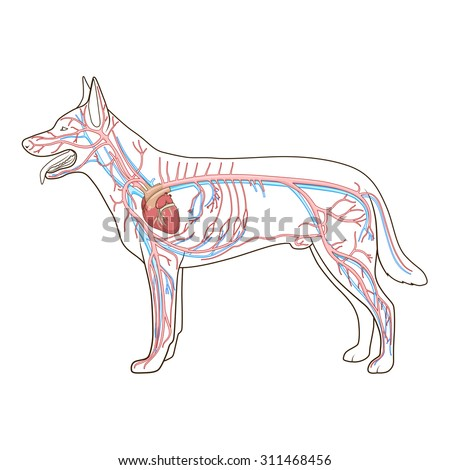Circulatory system diagram of a dog illustration of wiring diagram royalty free arterial circulatory system of the dog 311468441 rh avopix com dog respiratory system diagram ccuart