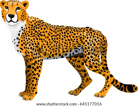 vector african cheetah (Acinonyx jubatus) isolated