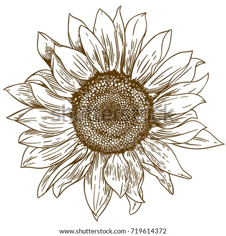 stock-vector-vector-antique-engraving-drawing-illustration-of-big-sunflower-isolated-on-white-background