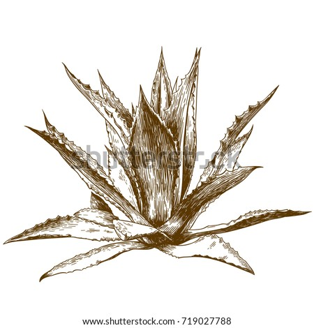 Vector antique engraving drawing illustration of blue agave isolated on white background