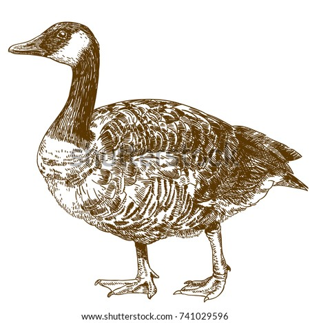 Vector antique engraving drawing illustration of canada goose isolated on white background