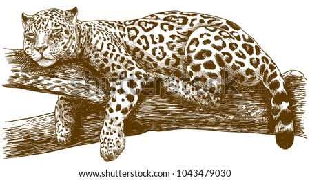 Vector antique engraving drawing illustration of leopard on branch isolated on white background