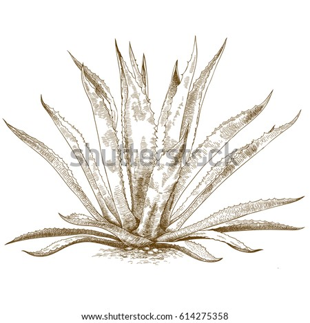Vector antique engraving illustration of blue agave isolated on white background