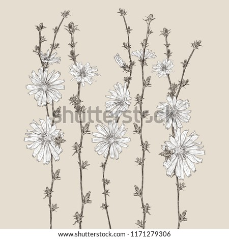 vector background with chicory