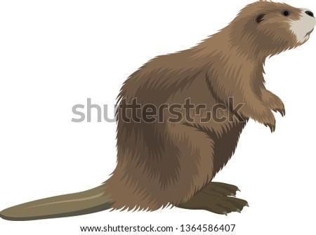 vector beaver illustration