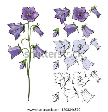 vector bellflower blossoms