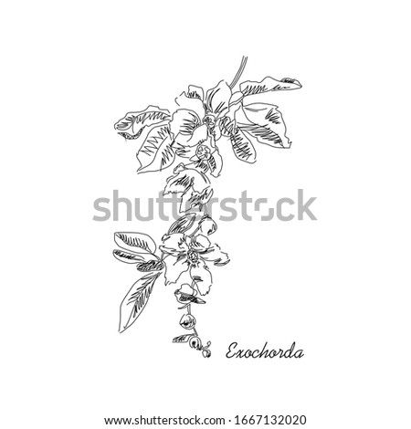 Vector black and white drawing of a flowering branch of an exochorda bush. Botanical image
