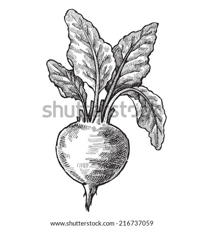 vector black hand drawn illustration of beet