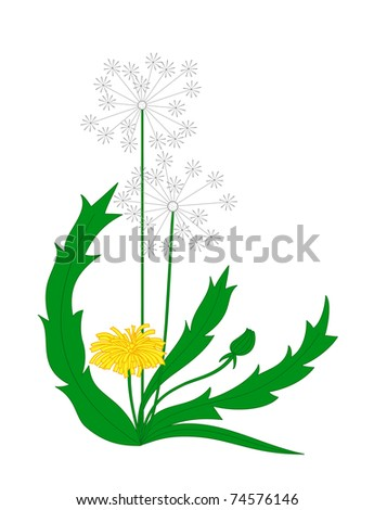 Vector blooming dandelion isolated on a white background