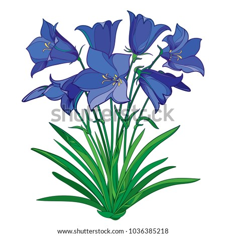Vector bouquet with outline blue Alpine campanula flower or Bellflower of Alps, bud and ornate green leaves isolated on white background. Alpine mountain flower in contour style for summer design.