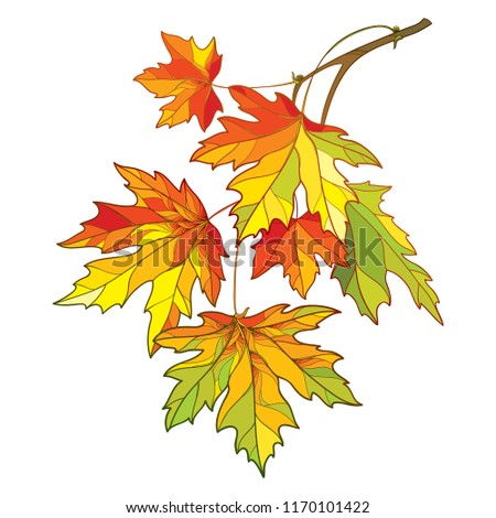 Vector branch with outline Acer or Maple ornate leaves in pastel yellow, green and orange colors isolated on white background. Composition with contour foliage of Maple tree for autumn design.