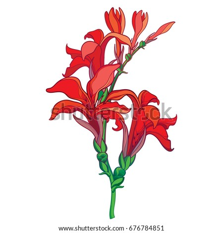 Vector branch with outline Canna lily or Canna, flower bunch and bud in red isolated on white background. Floral elements in contour style with ornate flower for tropical summer design.