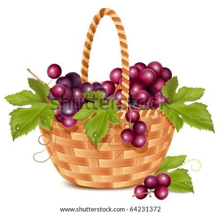 vector bunch of fresh grape in