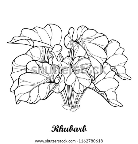 Vector bush with outline Rhubarb or Rheum vegetable in black isolated on white background. Ornate leaf of Rhubarb bunch in contour style for organic food or medicinal design and coloring book.