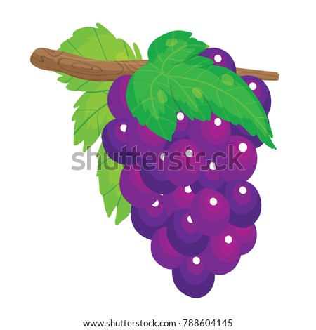 Vector cartoon illustration of purple grapes hanging from vine branch isolated against white background