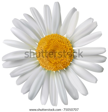 Vector chamomile flower isolated