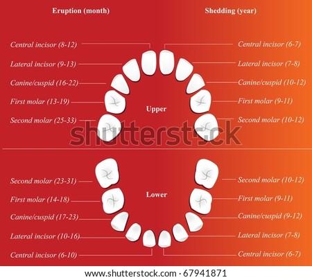 Vector Dental Charts Download Free Vector Art Stock Graphics Images