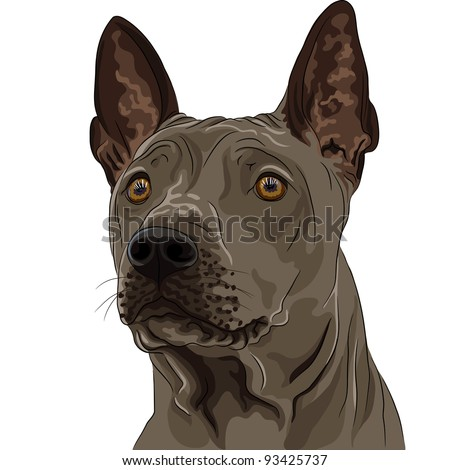 vector closeup color sketch Thai Ridgeback Dog breed of red color