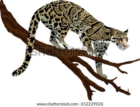 vector clouded leopard