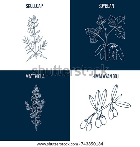Vector collection of four hand drawn medicinal and eatable plants, skullcap, soybean, matthiola, goji