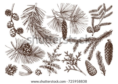 Vector collection of hand drawn conifers illustration. Vintage evergreen plants sketch set - fir, pine, spruce, larch, juniper, cedar, cypress. Christmas decoration elements.
