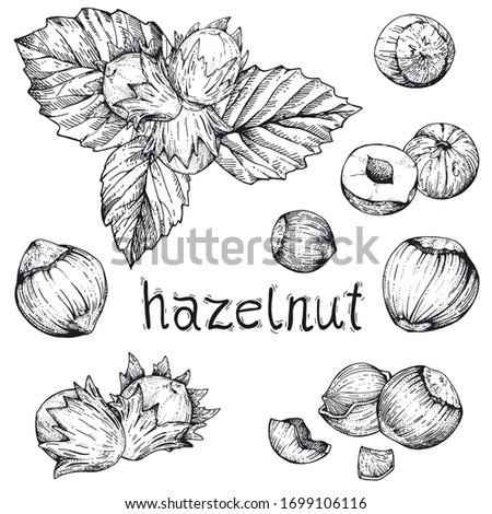 Vector collection of hand drawn nuts. Set sketches with hazelnuts. Peeled kernels and in the shell. Engraving style. Drawing with pen ink. For packaging design, advertising, menus, recipe magazines Foto d'archivio ©