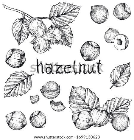 Vector collection of hand drawn nuts. Set sketches with hazelnuts. Peeled kernels and in the shell. Engraving style. Drawing with pen ink. For packaging design, advertising, menus, recipe magazines