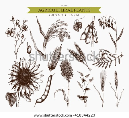 Sorghum Plant Drawing