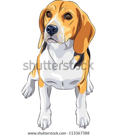 vector color sketch of the dog Beagle breed sitting