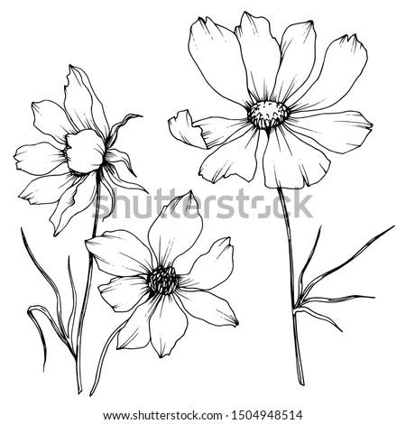 vector cosmos floral botanical