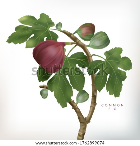 Vector 3D illustration Common Fig Tree Illustration in White Background