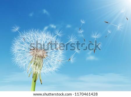 vector dandelion with flying