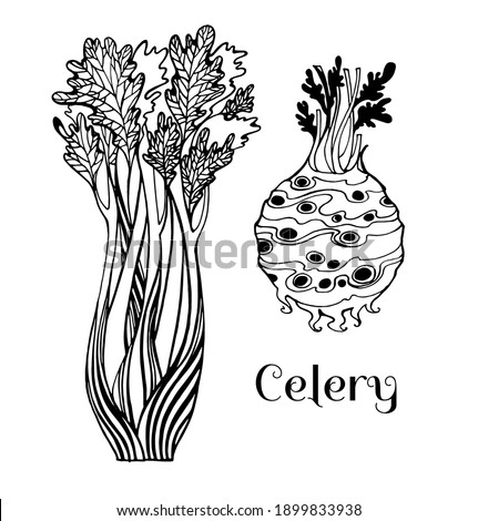 Vector drawing celery stalks and celery root, black and white graphics, long stalks, round tuber, spicy celery, delicious healthy natural vegetable, hand-drawn, natural eco-product, vegetarianism. Foto stock ©