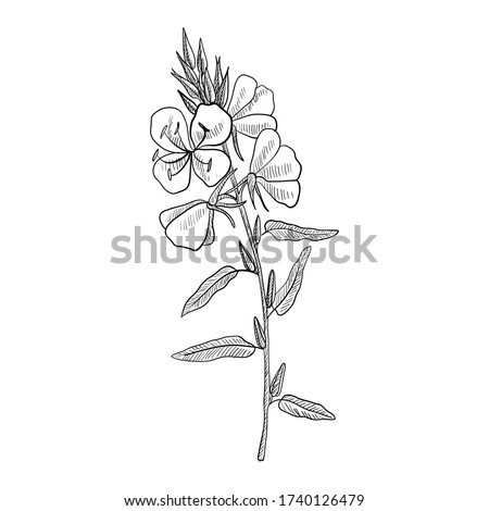 vector drawing evening primrose