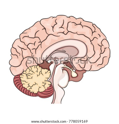 Vector drawing of a / Human Brain / Easy to edit objects and layers, no weird effects used