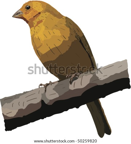 Vector drawing of a Saffron Finch found in the mountains of Ecuador. Raster image also availble.