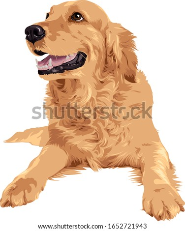 Vector drawing of golden retriever dog laying on white background ストックフォト ©