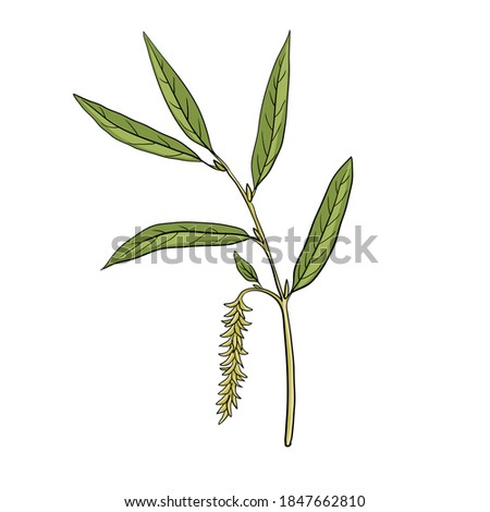 vector drawing white willow