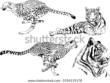 Shutterstock vector drawings sketches different predator , tigers lions cheetahs and leopards are drawn in ink by hand , objects with no background