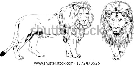 vector drawings sketches different predator , tigers, lions ,cheetahs and leopards are drawn in ink by hand , objects with no background
