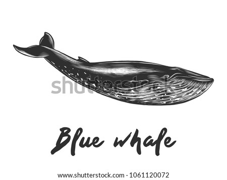 Vector engraved style illustration for posters, decoration and print. Hand drawn sketch of blue whale in monochrome isolated on white background. Detailed vintage woodcut style drawing.