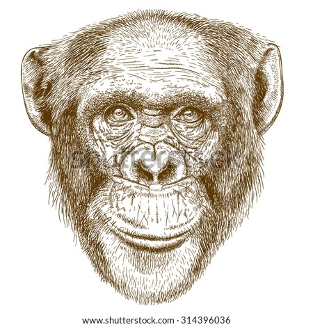 Vector engraving  illustration of  highly detailed hand drawn head of the chimpanzee isolated on white background