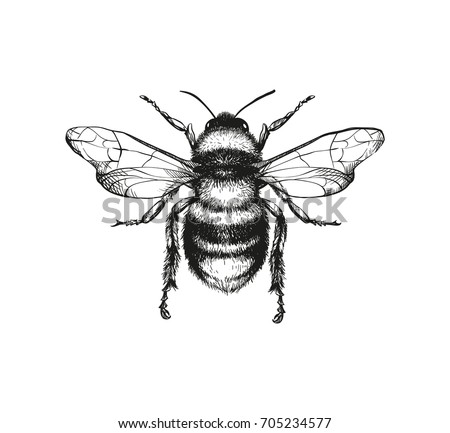 Vector engraving illustration of honey bee on white background - Shutterstock ID 705234577