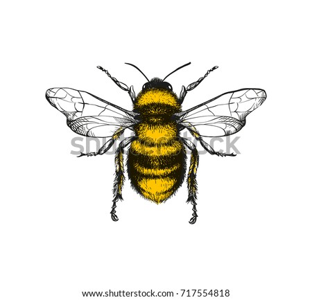 Vector engraving illustration of honey bee on white background
