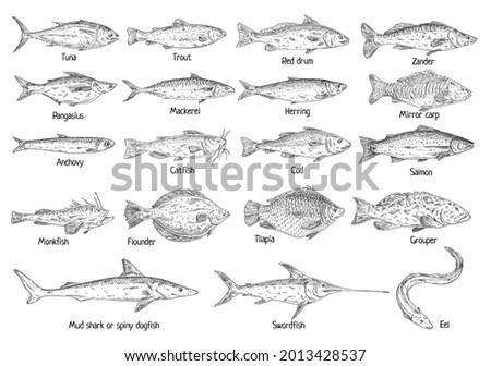Vector engraving set type different fish. Red drum, anchovy, catfish, cod, flounder, herring, mackerel, pangasius, tilapia, trout, tuna, ell, grouper, mirror carp, monkfish, zander, swordfish, shark Stock fotó ©