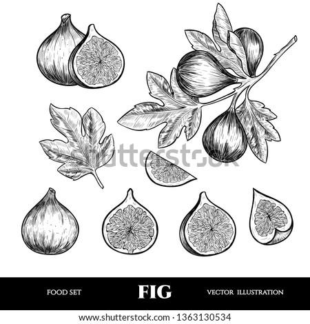 Vector figs hand drawn sketch. Sketch vector  food illustration. Vintage style