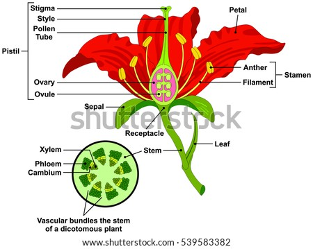 Vector Flower Parts Diagram with stem cross section anatomy of plant morphology and its contents useful for school student stamen pistil petal sepal leaf receptacle root botany science education