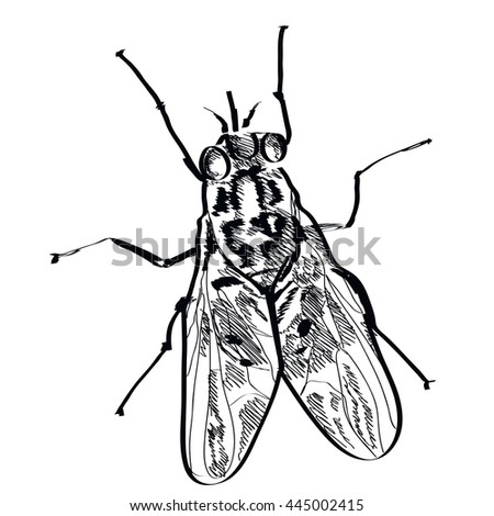 vector fly insect hand drawn on