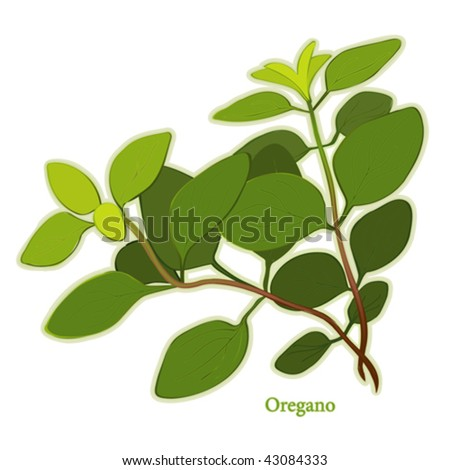 vector - Fresh Italian Oregano. To flavor meats, poultry, soups & stews in Italian, Mediterranean, Latin cuisines, Herbes de Provence. See other herbs & spices in this series. EPS8 compatible.