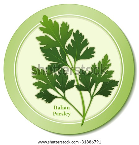 vector - Fresh Italian Parsley Herb: Flat green leaves, preferred variety for cooking, garnishes, French herb blends: Fines Herbs & Bouquet Garni. Copy space. EPS8 in groups for easy editing.